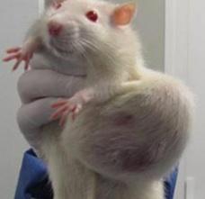GMO-rat