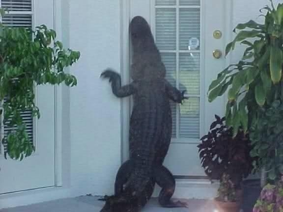 Florida alligator 2