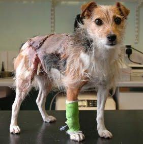 ugly rat terrier