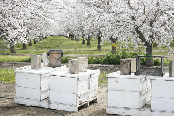 bee hives in almond orchards