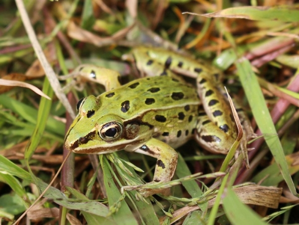atlantic-coast-leopard-frog
