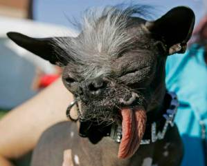 "FILE - In this Friday, June 22, 2007 file photo, Chinese Crested dog ""Elwood"" appears at the 2007 World's Ugliest Dog Contest in Petaluma, Calif. Elwood, who weighed in at just 6 lbs and was rescued as the result of a New Jersey SPCA investigation, won the title of World's ugliest dog of 2007. The 25th running of the World's Ugliest Dog contest takes place Friday, June 20, 2014, at the Sonoma County Fair in Petaluma, Calif. (AP Photo/Ben Margot)"