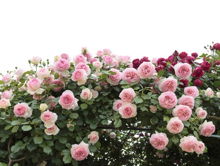 Roses in Spring