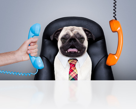 52216128 - office businessman pug dog as boss and chef , busy and burnout , sitting on leather chair and desk, telephones hanging around